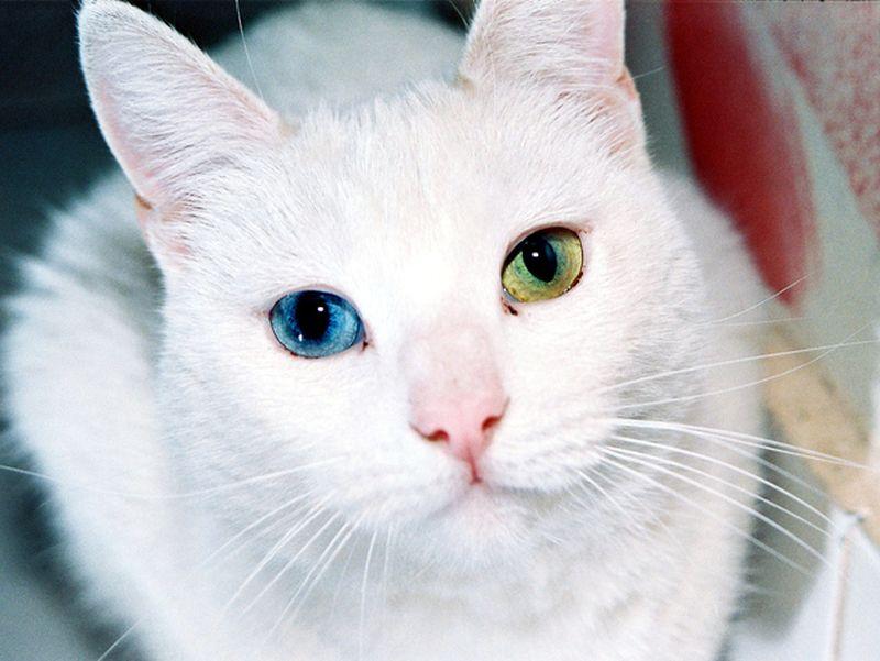 Heterochromia18 Разноглазые кошки