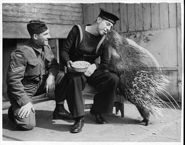 Солдат угощает дикобраза вкусным орешком. Лондонский зоопарк, 1940 год. история, люди, мир, фото