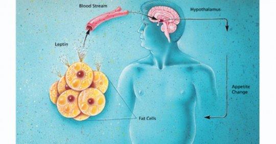 Вот как лишний вес влияет на размер мозга