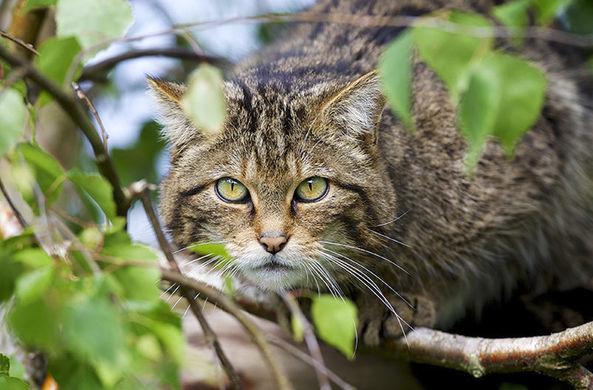 Одну из самых редких диких кошек засняли на видео