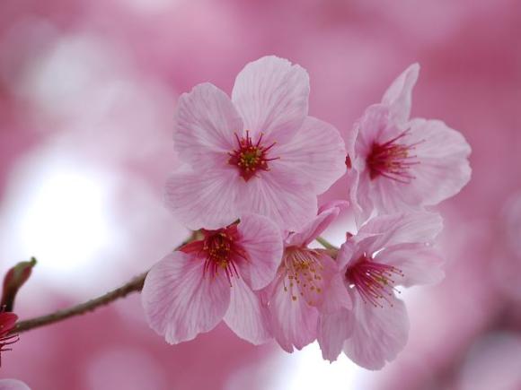 Три главных сакуры Японии