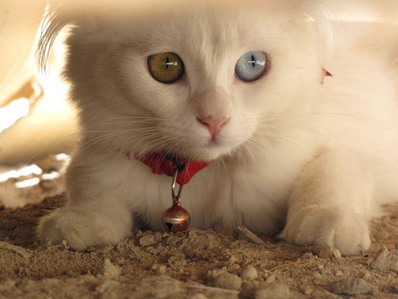 Heterochromia27 Разноглазые кошки