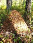 Лесные муравьи на садовом участке.