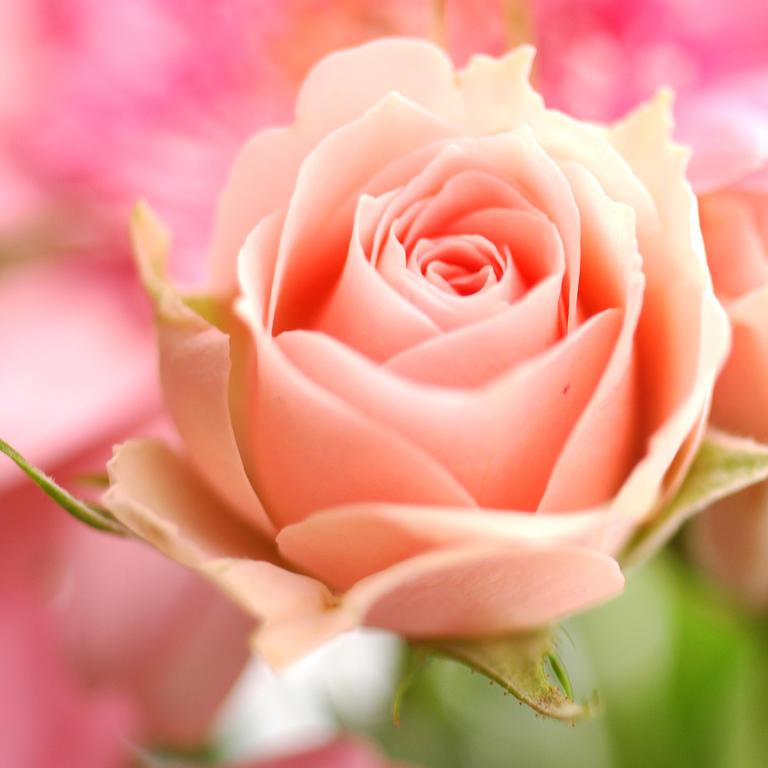 Роза. Вредители и болезни, средства защиты