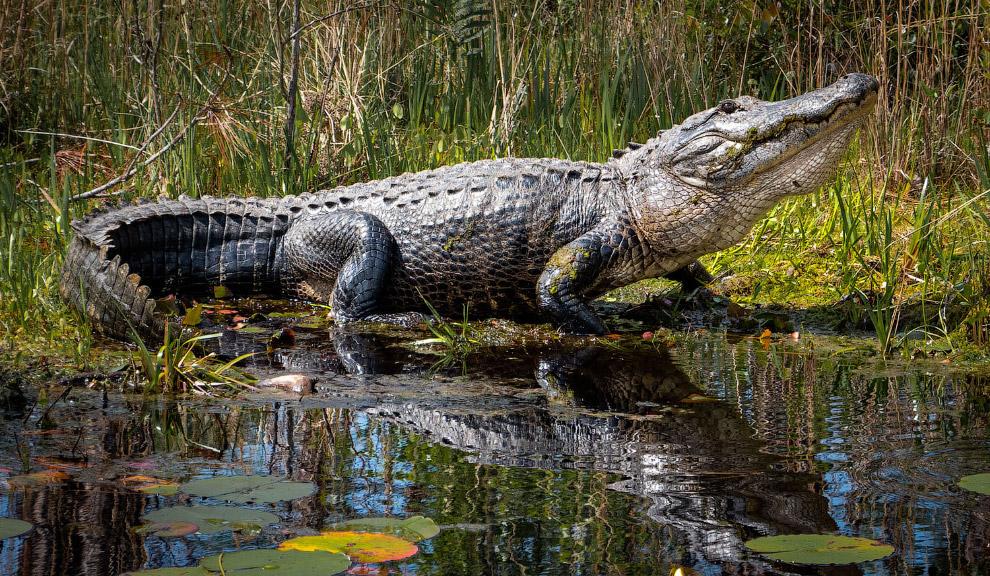 красавец-аллигатор из болота Окефеноки