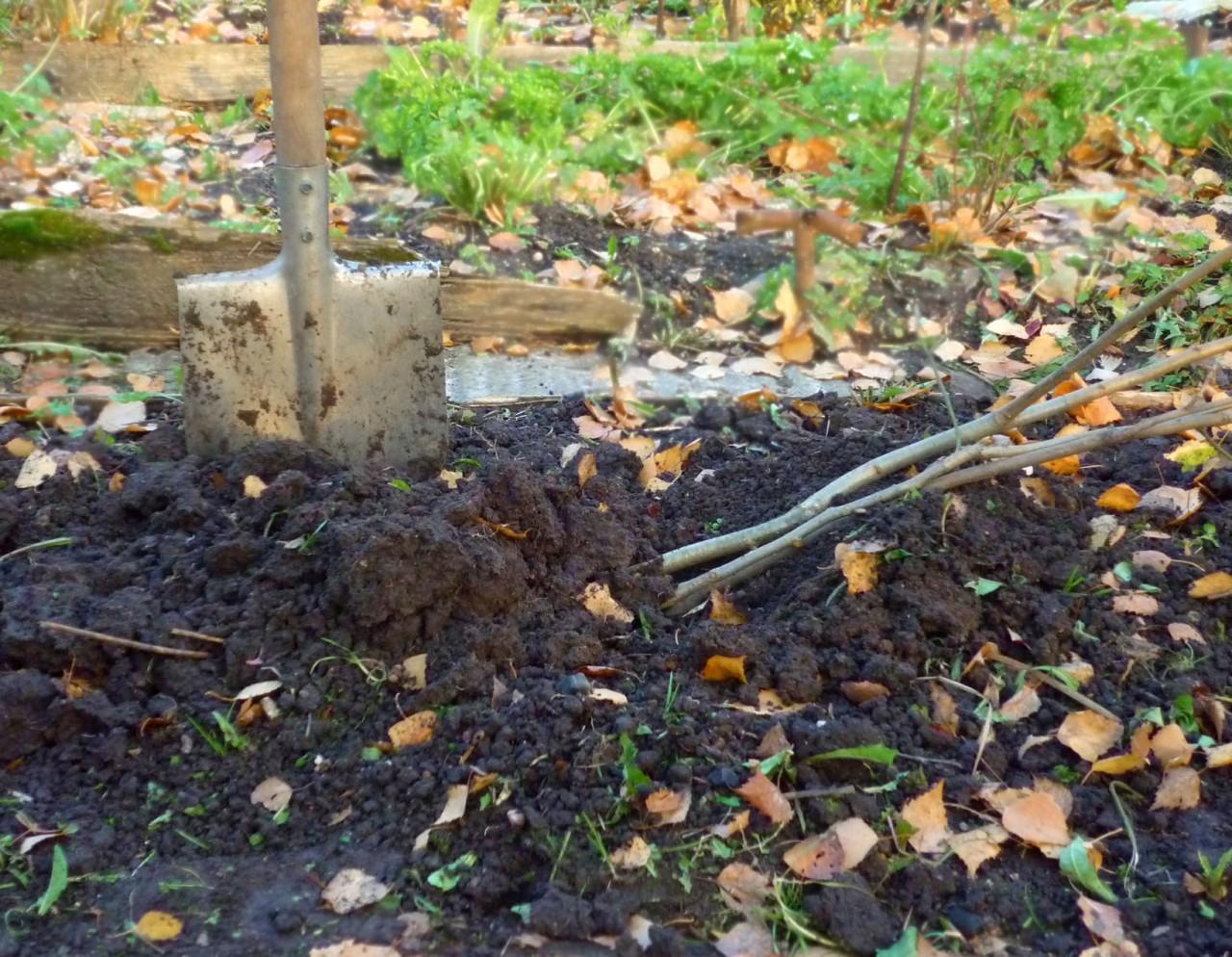 Как прикопать саженцы на зиму, чтобы они не вымерзли до весны