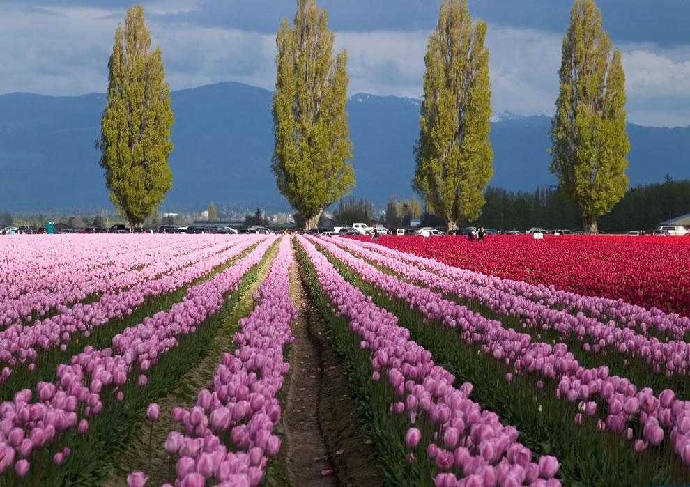 Самые яркие тюльпаны со всего света