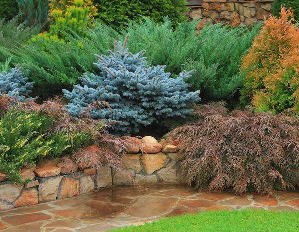 Хвойные растения — украшения любого сада