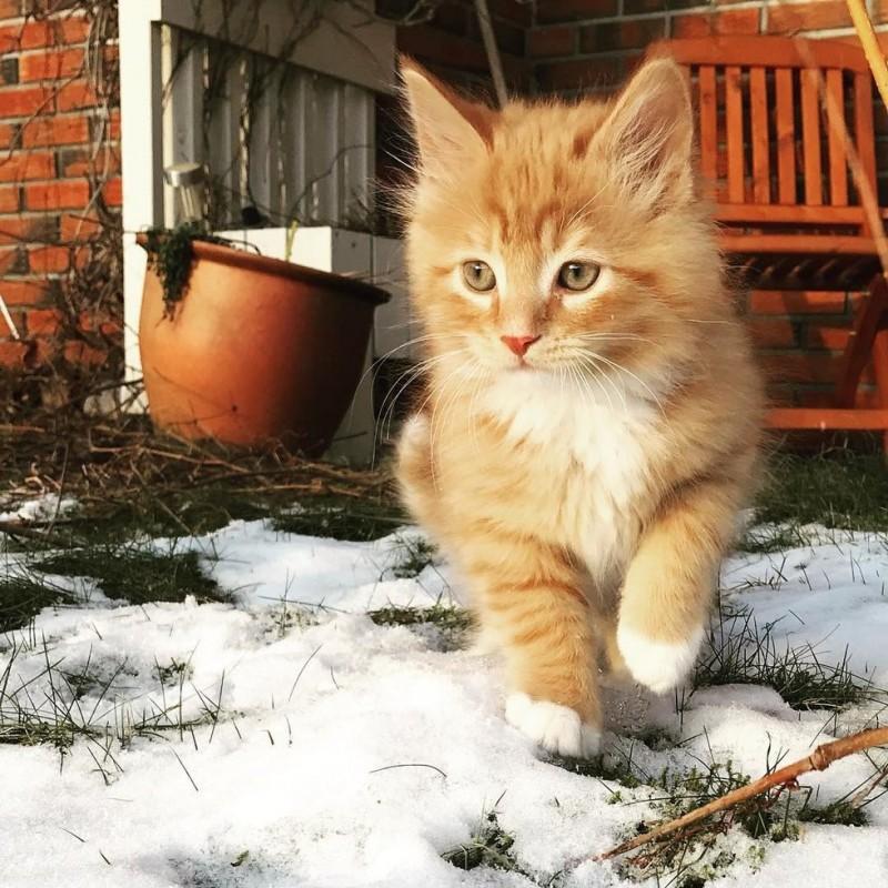 Рыжий норвежский кот с роско…