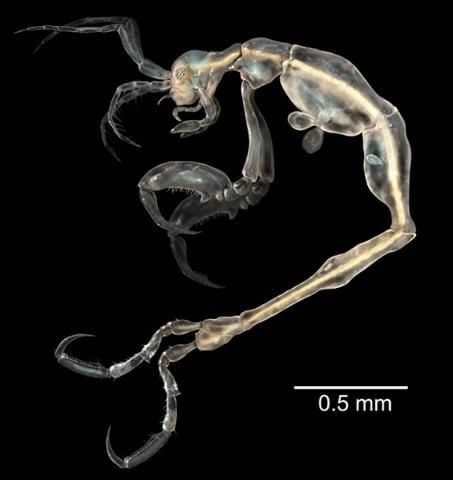 Креветка-скелет Liropus minusculus самая маленькая среди своих родственников.