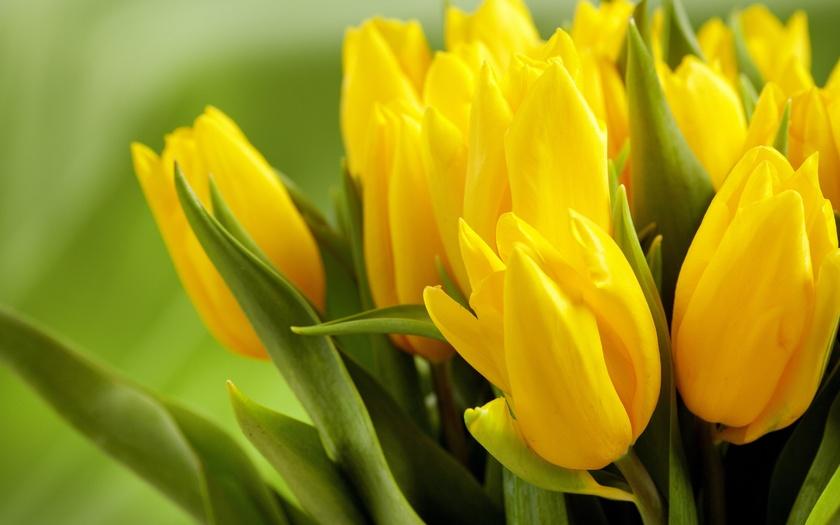 жёлтые тюльпаны, бутоны