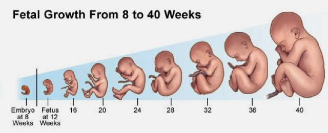 Беременность 12 недель развитие ребенка и