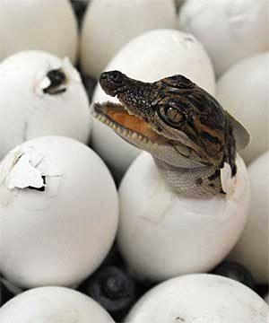 Что же всё-таки появилось раньше — курица или яйцо?