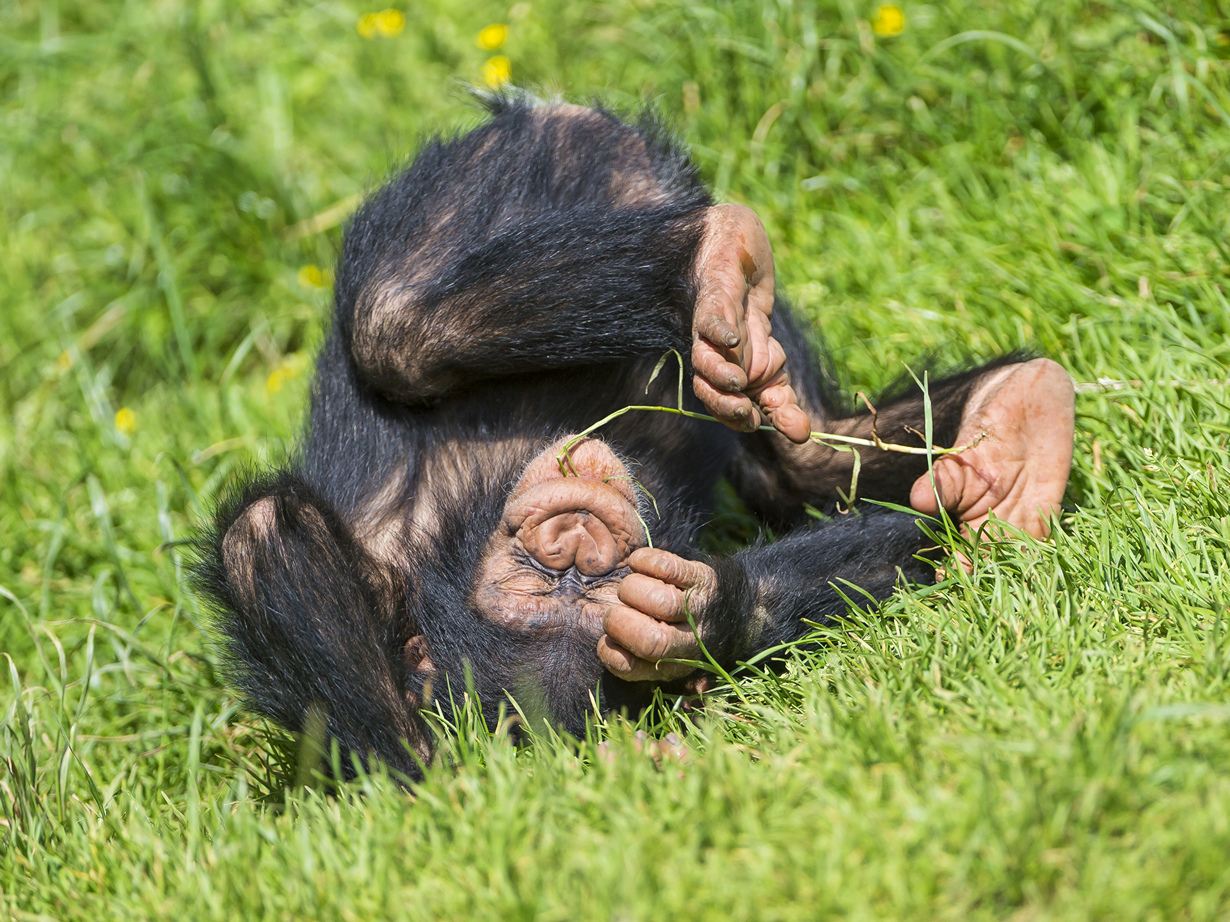 Детёныш шимпанзе. (Tambako The Jaguar)