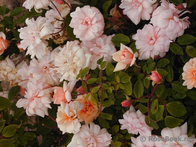 http://www.rosebook.ru/components/articles/images/bb/original/526-180-31.jpg