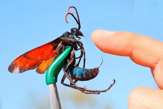 5 самых опасных насекомых России