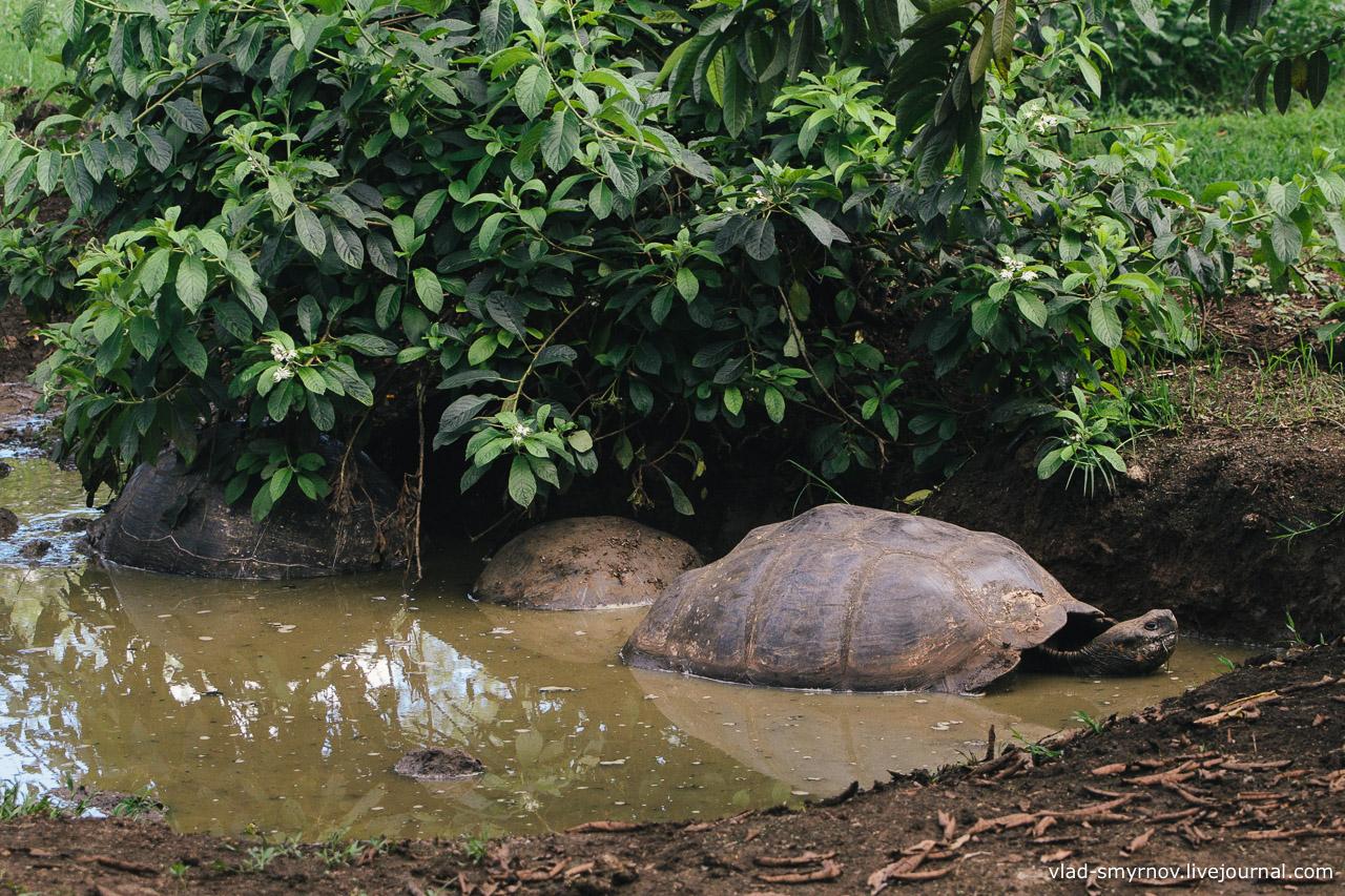 Слоновые черепахи