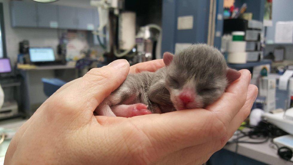 Маленький кот по прозвищу «Мышонок» родился совсем не обычным… И вот в кого он вырос сейчас