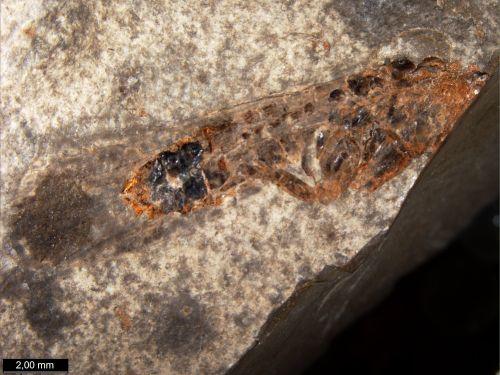 Описаны девять новых видов древних насекомых
