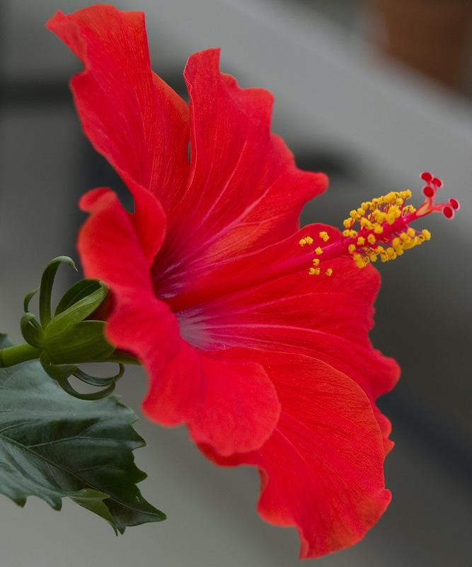 Цветок гибискус с