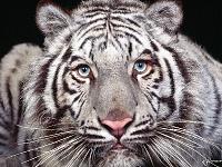 Белые тигры 30