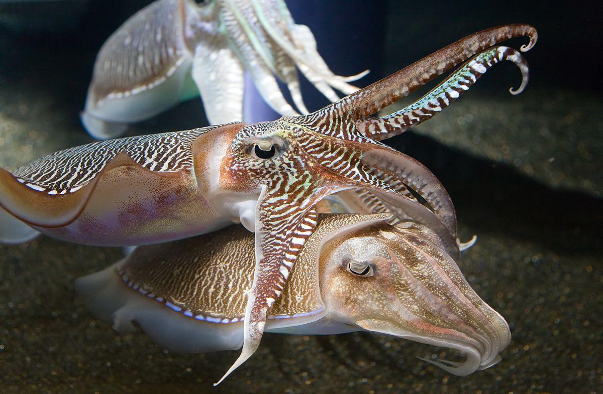 Каракатицы «носят» свои мысл…