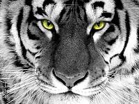 Белые тигры 5