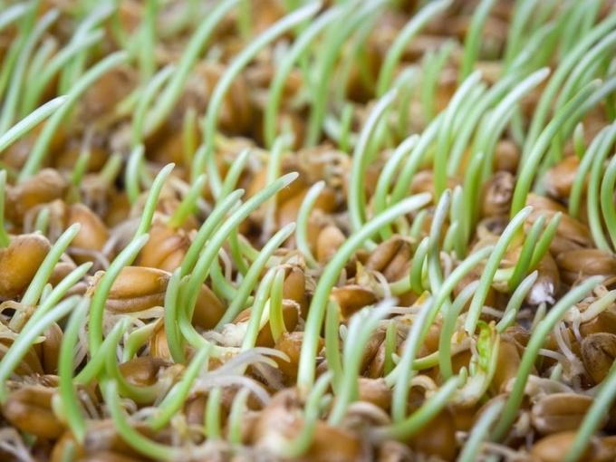 Выращивание злаков и бобовых дома