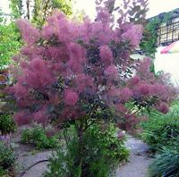 Скумпия – чудо-дерево
