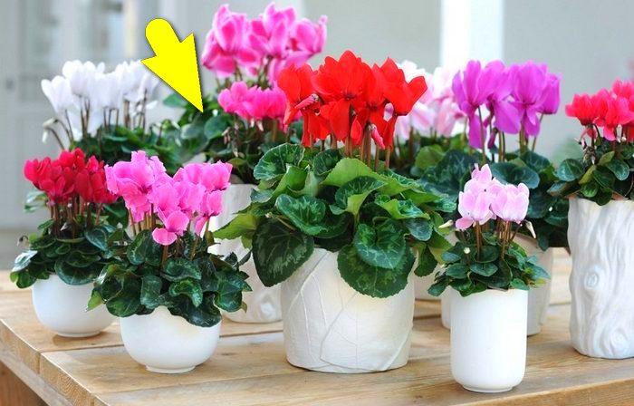 Садоводческая хитрость: комнатные растения зацветут пышнее, чем в магазине