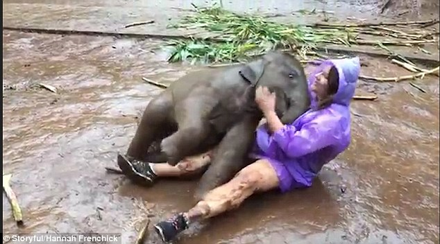 The tourist then sits up and pats the elephant's head as it rolls around nestling its head into the ground