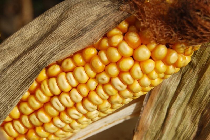 7 ГМО-продуктов, которые вынесут вам мозг гмо, продуктов питания