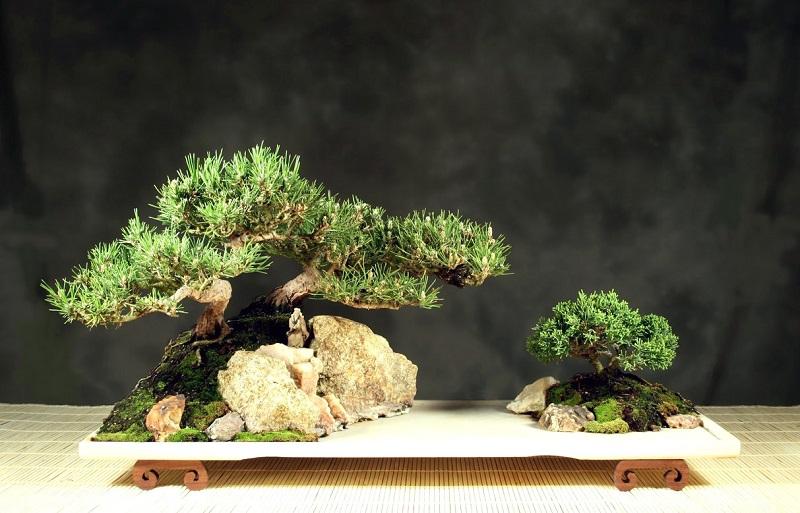 Стили бонсай. Исидзуки. Фото
