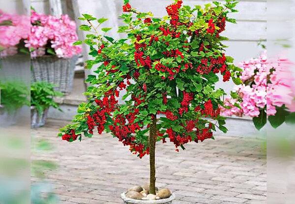 Как вырастить смородиновое дерево