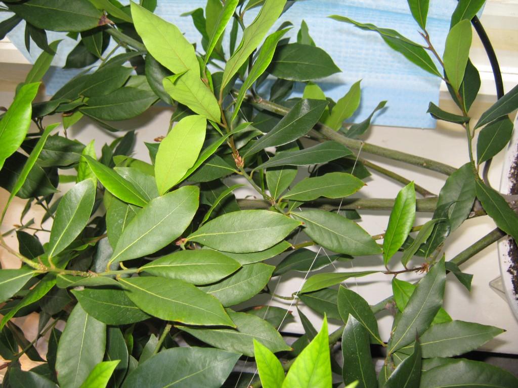 Выращивание лаврушка 11