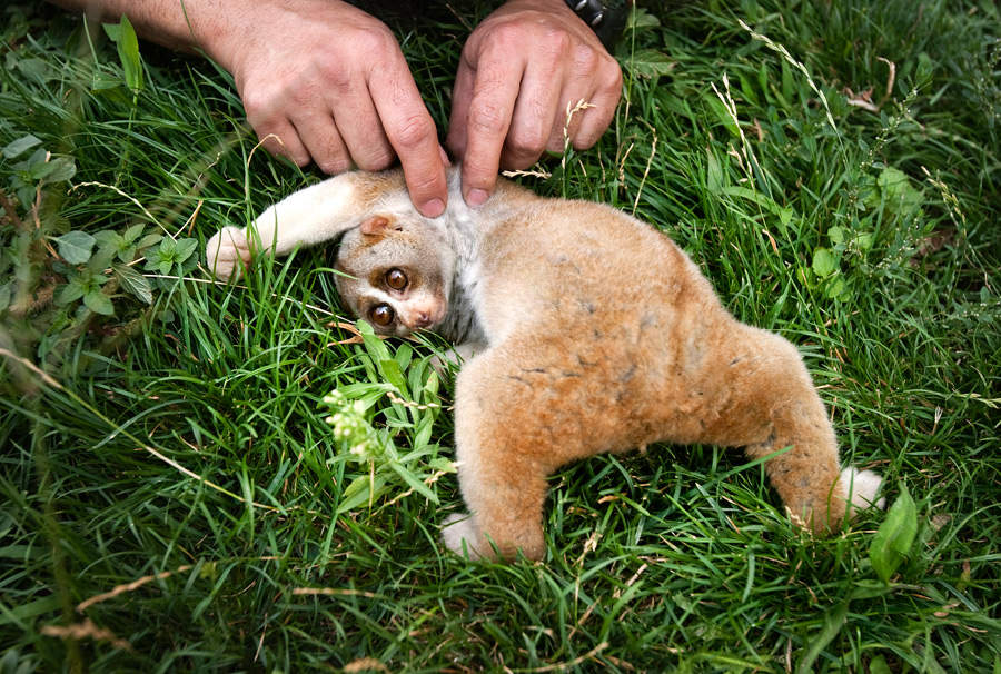 Новый вид ядовитых приматов найден на Борнео