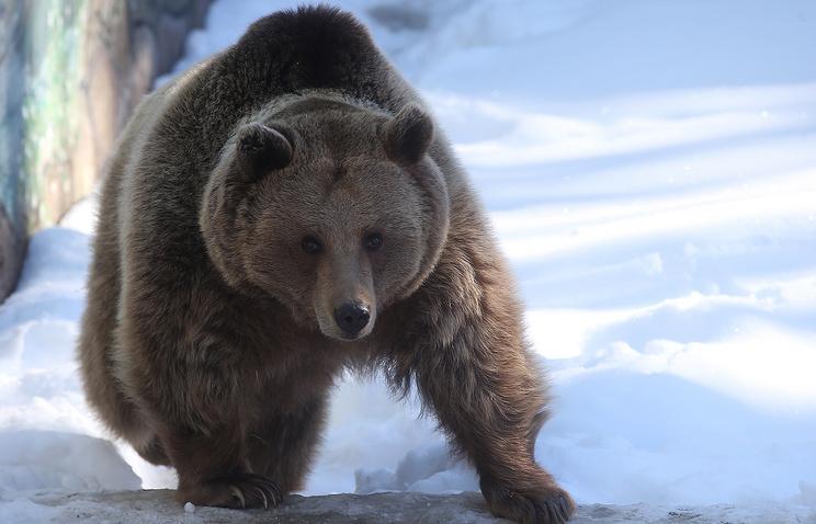 В Иркутской области медведь украл у охотника два ружья