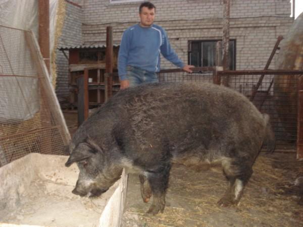 Мангалица Hungarian, ~~~[мат]~~~, Венгерская, Кучерявые, Мангалица, Мохнатые, свинья