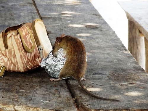 Челябинск заполонили крысы