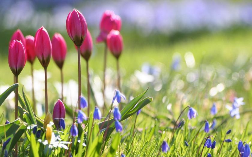 тюльпаны, голубые цветы