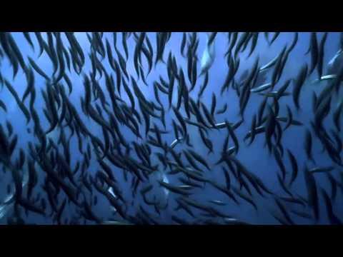 «Птицы как пули» или коллективная окота на рыбный косяк