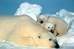 Белые медведи: шанс на выживание