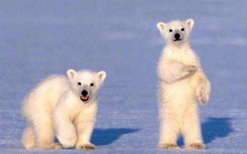 Топ-25: Интересные и малоизвестные факты о белых медведях