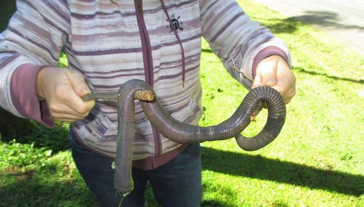 В Австралии ливень выдавил из норы на поверхность огромного земляного червя. Фото
