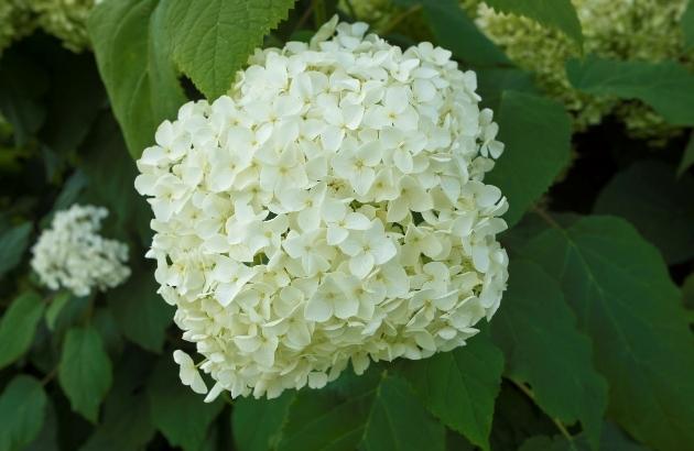 Гортензия древовидная: цветет всегда, цветет везде
