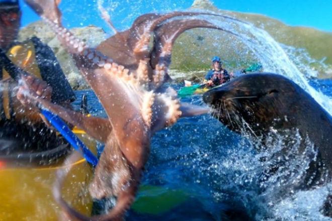 Тюлень дал каякеру пощечину осьминогом