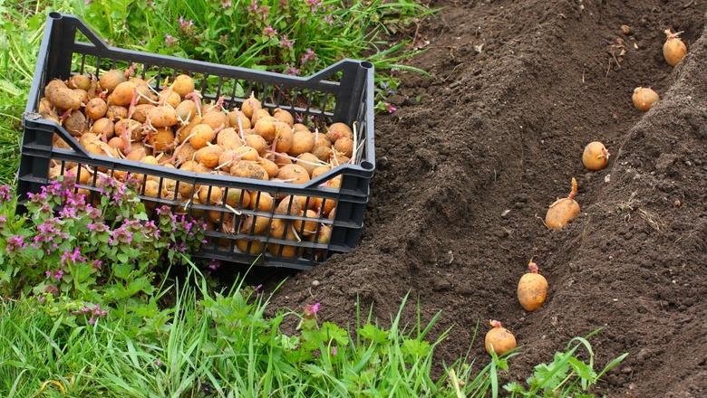 Ради красного словца картошку не пожалели