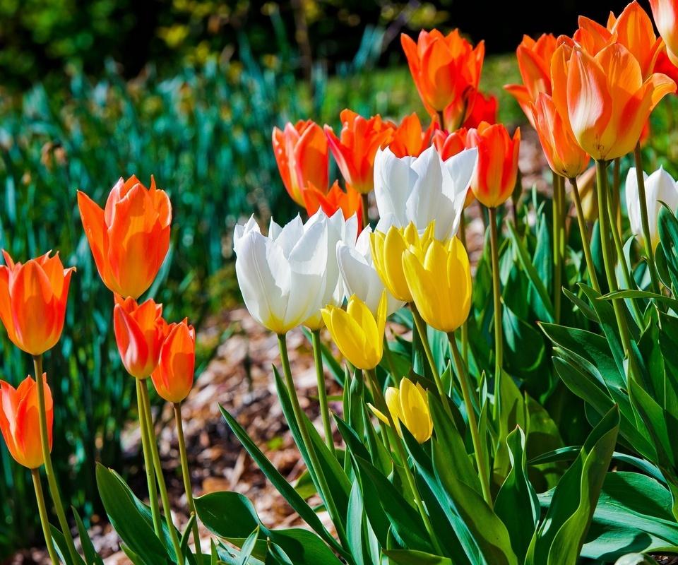 тюльпаны, бутоны. разноцветные, бутоны, разноцветные