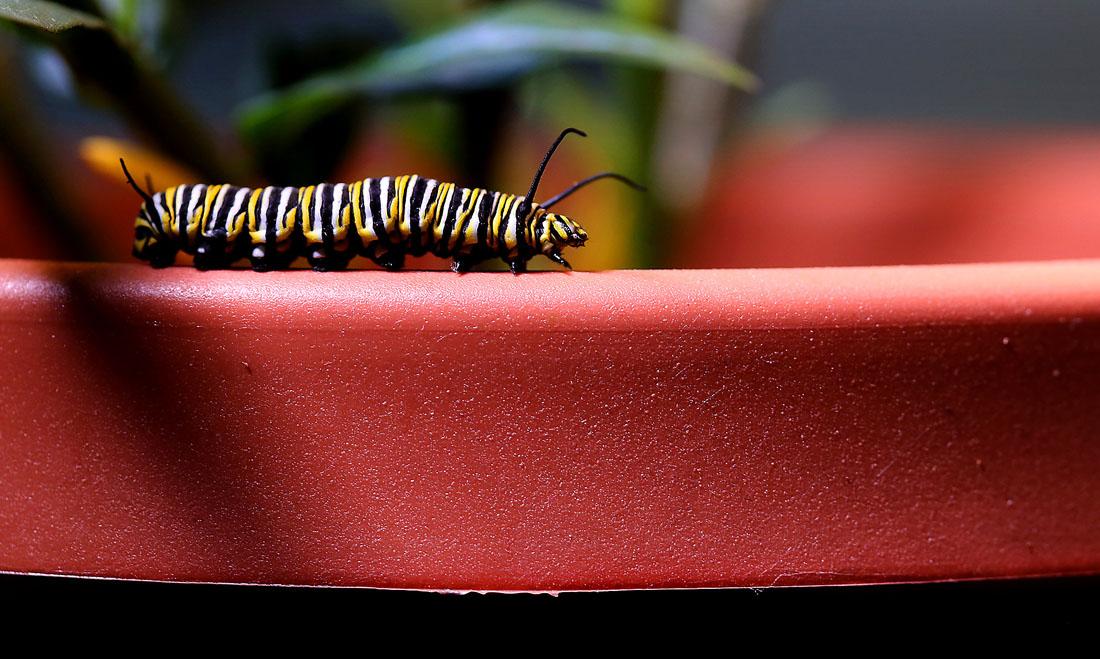 1160 Метаморфозы и рождение бабочки монарха