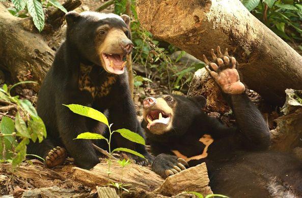 Медведи способны подражать мимике друг друга